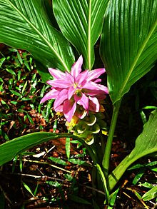 A beautiful Turmeric Plant also native to Australia. Picture thanks to Wiki!